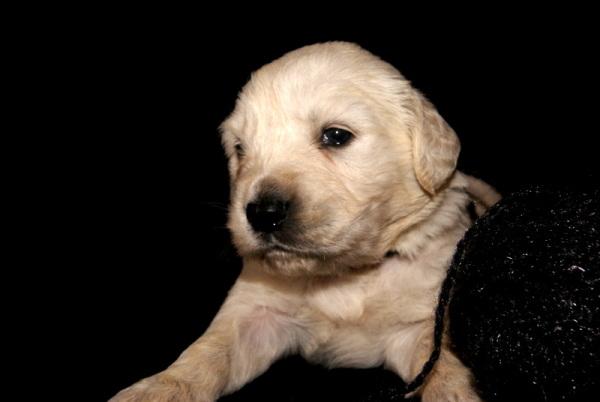 Golden Puppy I