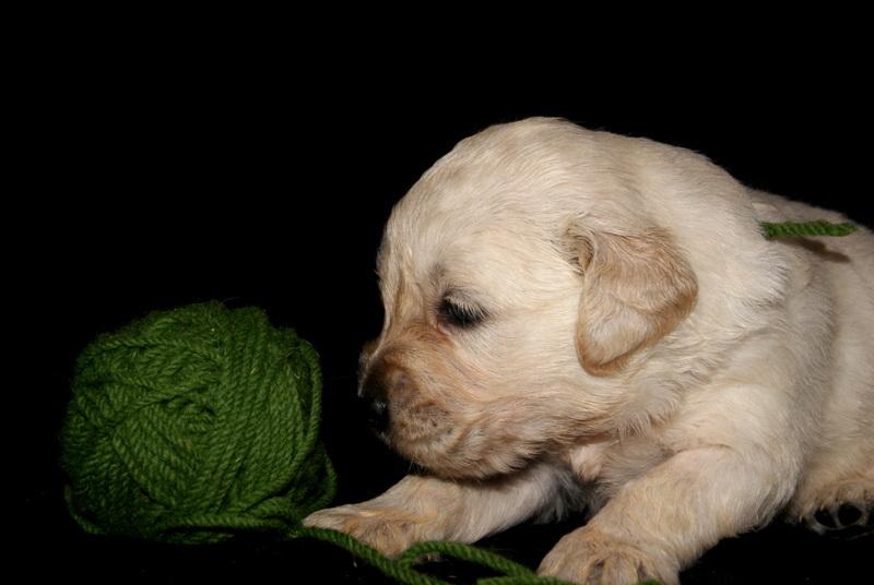 Golden Puppy II