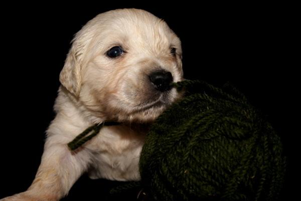 Golden Puppy IV