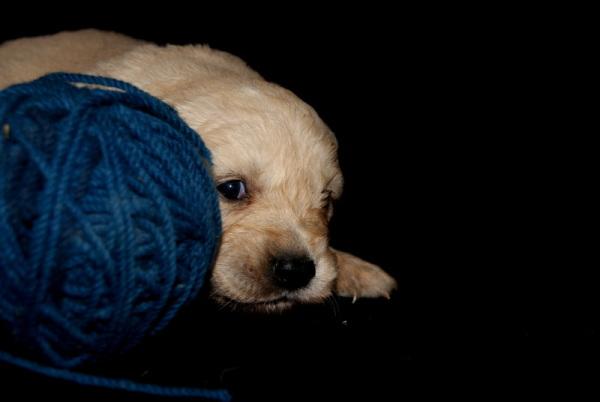 Golden Puppy V