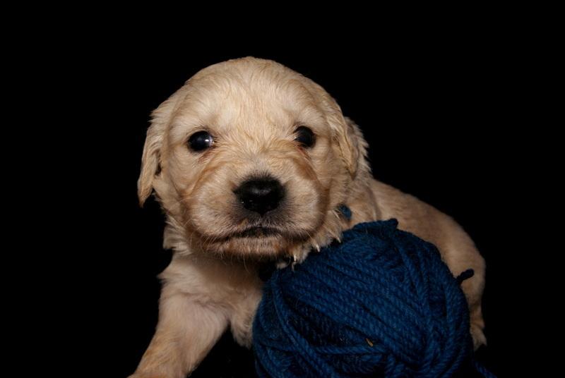 Golden Puppy VI