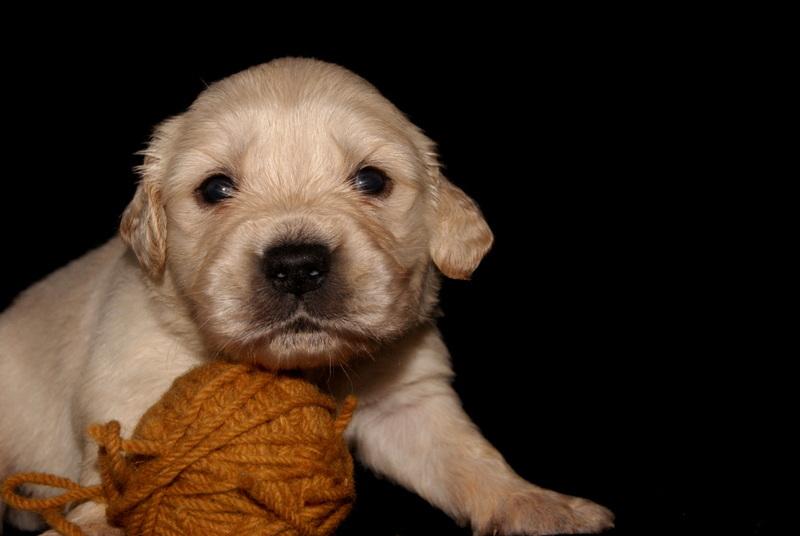 Golden Puppy X