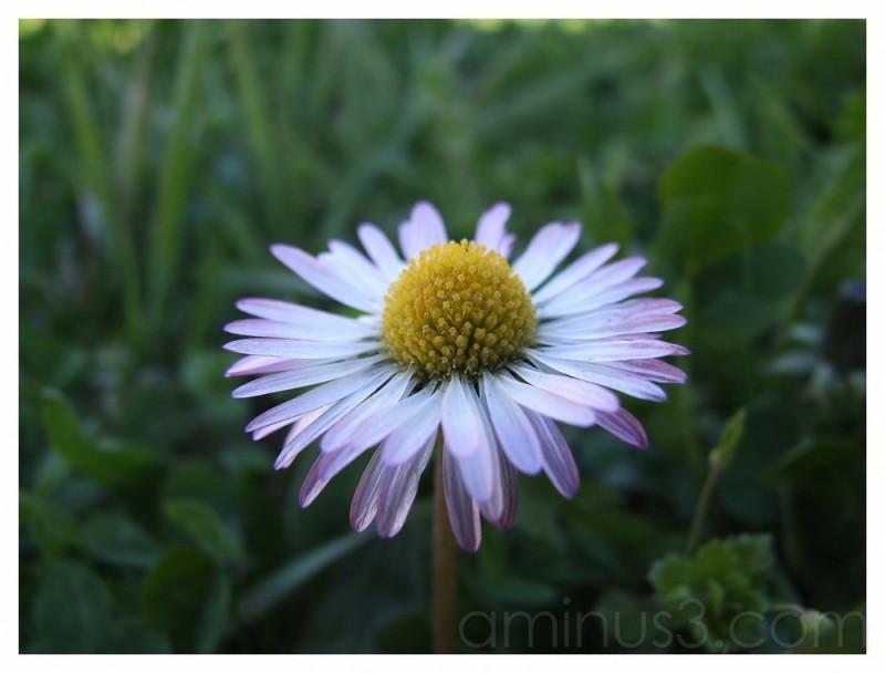 daisies 3