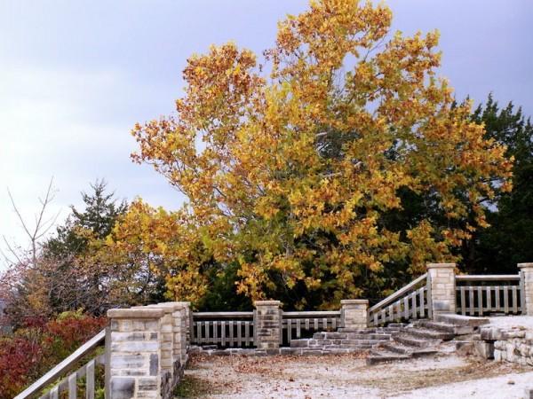Sycamore tree in Ha Ha tonka state park.