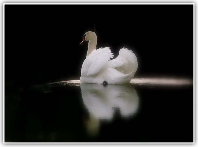 Swan swimming on a pond.