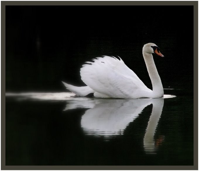 A swan swimming on a pond.