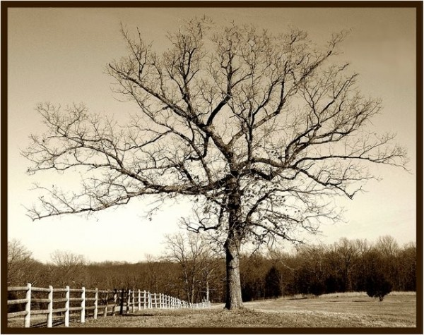 Oak tree beside a fence.