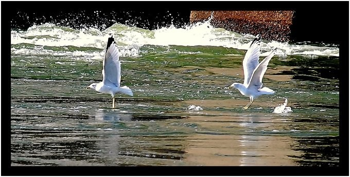 Seagulls hunting for fish on the river.