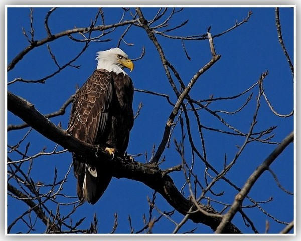 An eagle perched high in a tree.