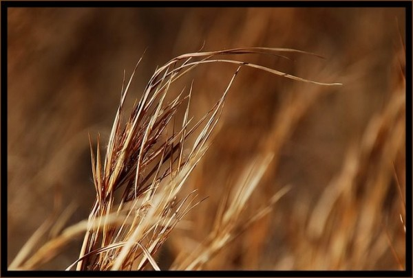 Grasses in the wind.