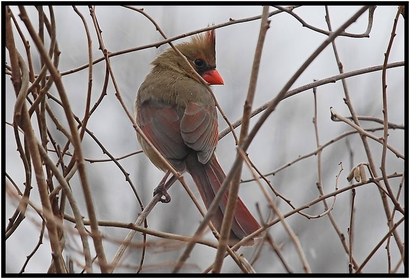 Female cardinal in winter.