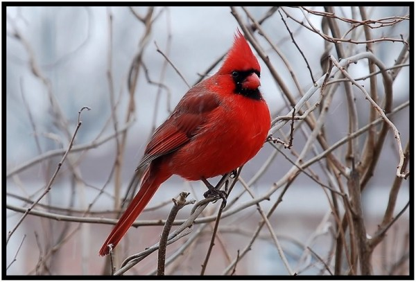 Male cardinal in winter.