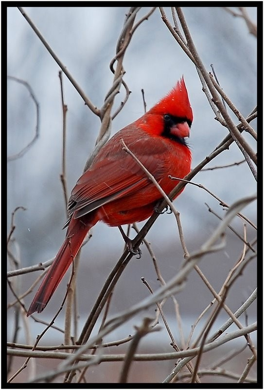 Male cardinal in the snow.