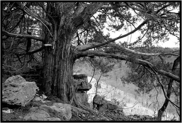 A cedar tree in Ha Ha Tonka State Park, Missouri.