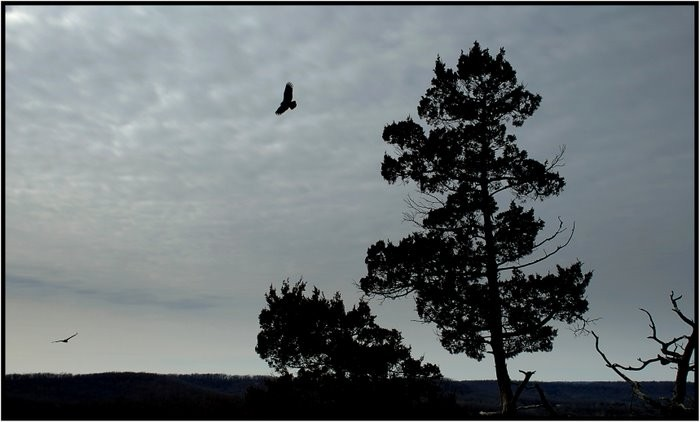 Two vultures catching an updraft of wind.