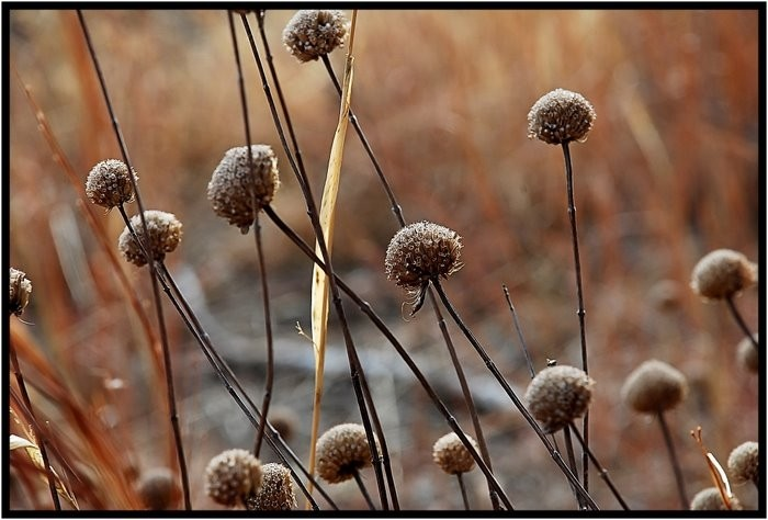 Dried seed pods in winter.