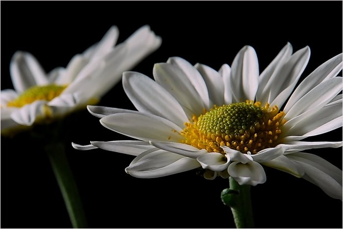 2 daisies in a still life.