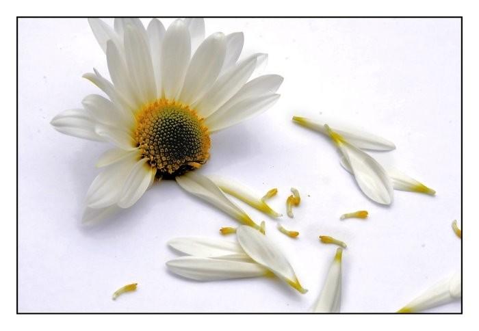 Plucked Petals