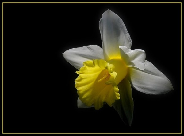 Spring daffodil in the sunlight.
