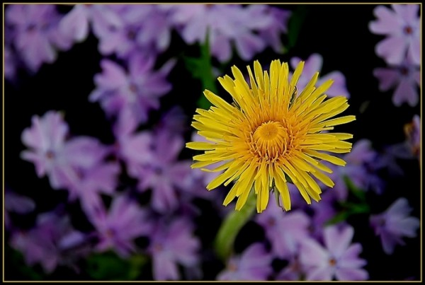 Dandelion flower in among the phlox.