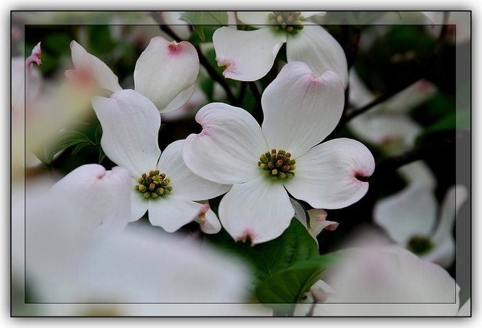 Spring time dogwood blossoms