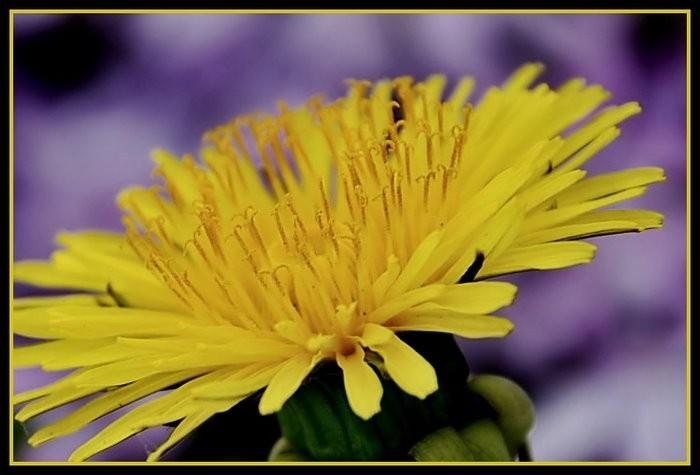 Dandelion among the purple phlox.
