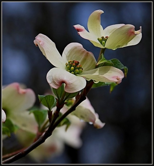 Dogwood blooms in the spring.