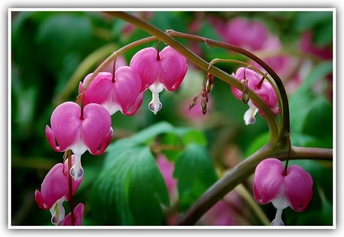 Bleeding hearts flower in the spring.