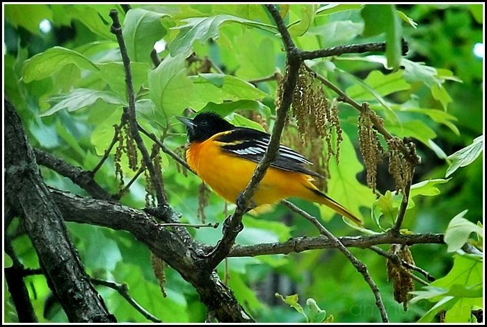 Baltimore oriole in an oak tree.