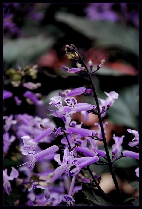 Mona lavender flower.