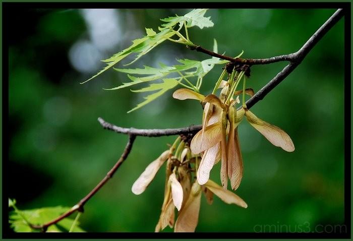 Maple tree seeds.