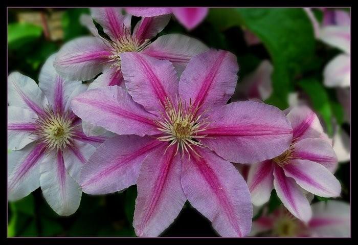 Clematis flowers in bloom.