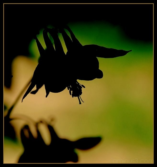 Columbine flower in the shadows.