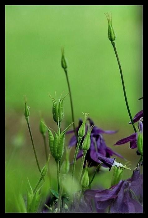 Seed Heads of the Columbine