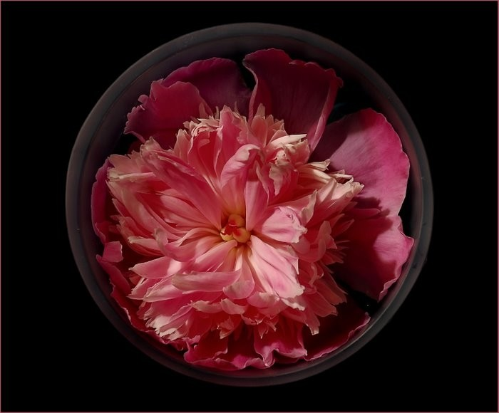 Peony flower in a blue vase.