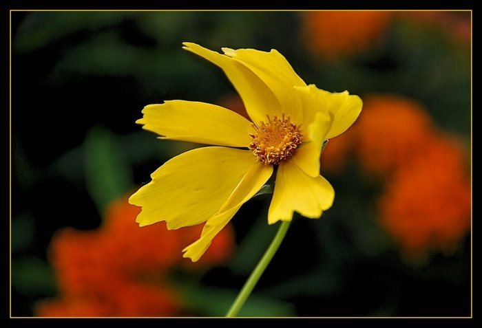 Yellow flower blowing gently in the breeze.