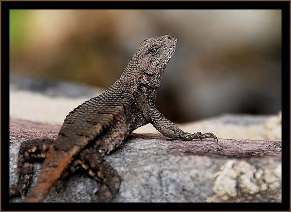 Lizard on a rock or stone.