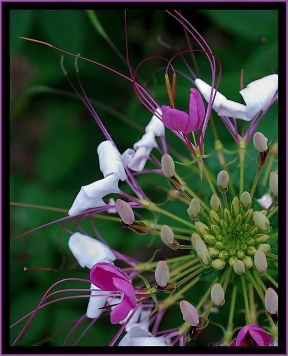 Cleome or spider flower.