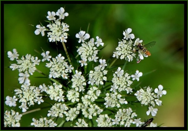 Queen Anne's lace.