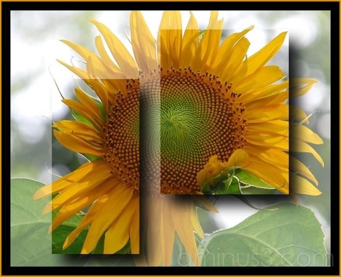 Sunflower and Corel Paintshop X.