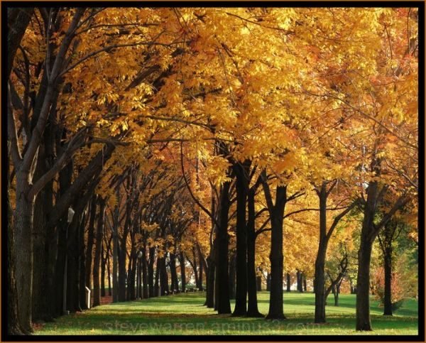Trees of Gold ll
