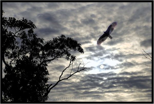 Translucent Wings