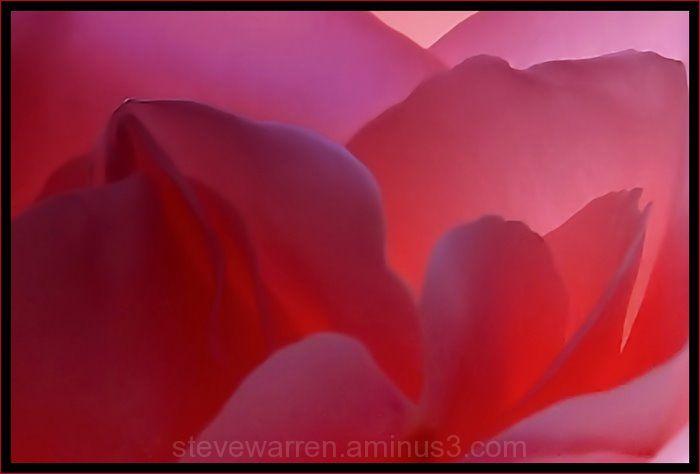 Rose ll