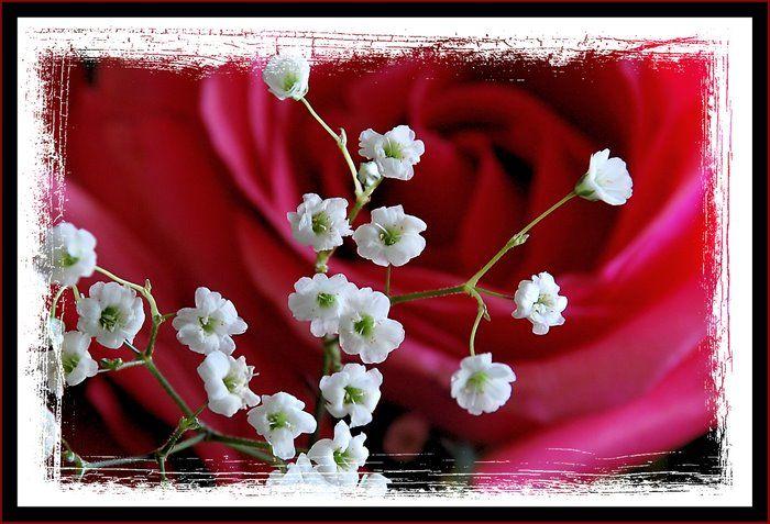 Rose lll