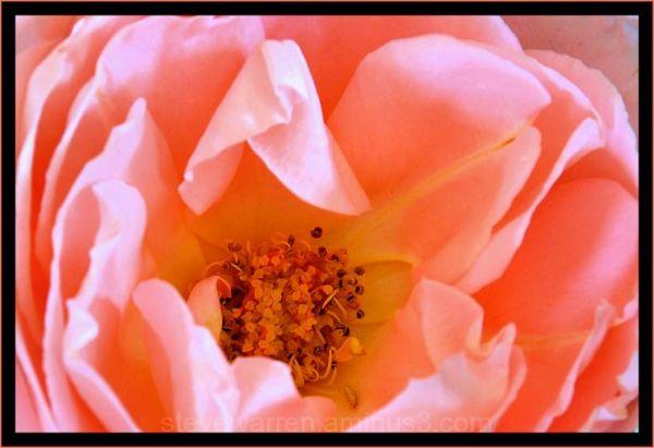 Rose lV