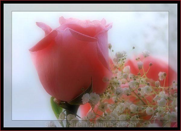 Rose Vl