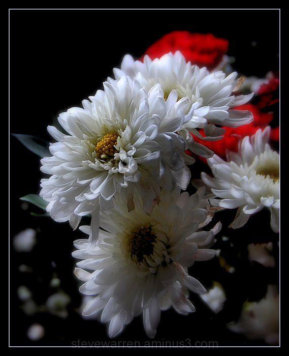 Chrysanthemum ll