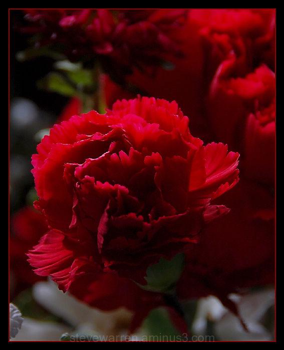 Carnation l