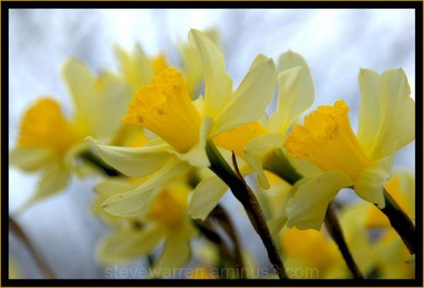 Trumpeters of Spring