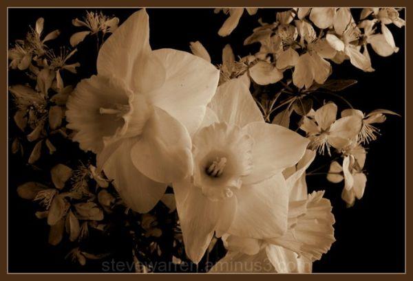 Daffodil lV